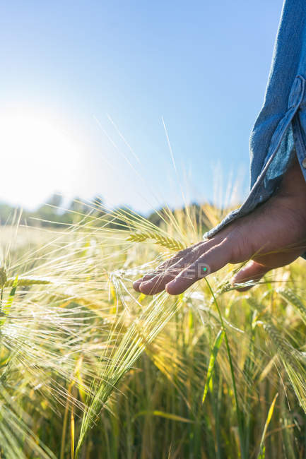 Crop hand touching golden wheat in field on background of bright sunlight. — Stock Photo