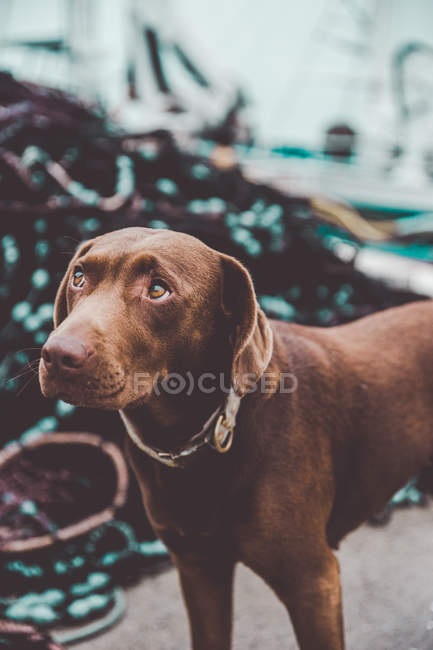Cute brown labrador dog in harbor — Stock Photo