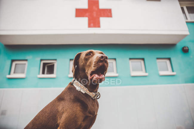 Low angle view of brown dog yawning near hospital building with red cross on facade. — Stock Photo
