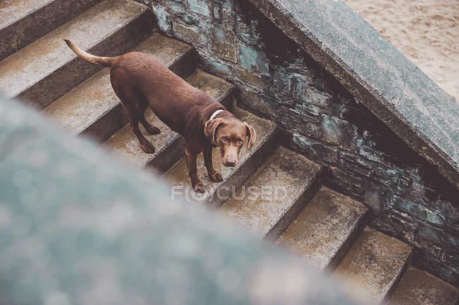 Brauner Labrador-Hund läuft Treppe hinunter — Stockfoto