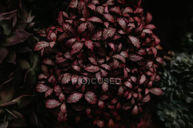 Закрыть вид на садовое растение с красными листьями — стоковое фото
