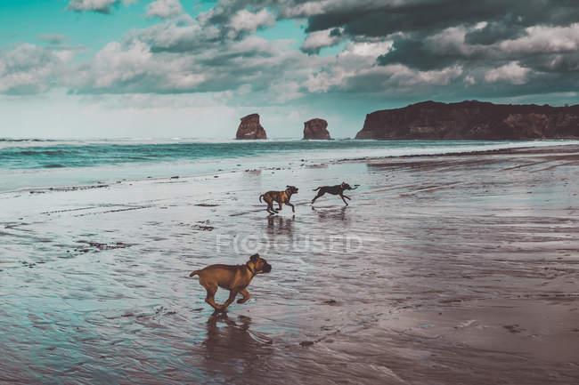 Живописный вид собак, бегущих по песчаному берегу — стоковое фото