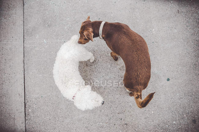 Top view of two cute dogs friendly sniffing each other on walk. — Stock Photo