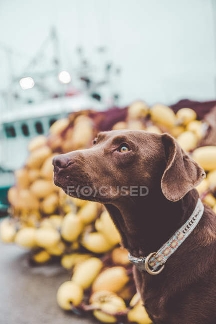 Side view of brown labrador dog obediently looking away — Stock Photo