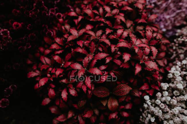 Вид сверху клумбы с красными листьями растения — стоковое фото