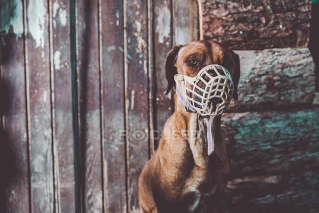 Cane in museruola sulla facciata in legno sullo sfondo — Foto stock