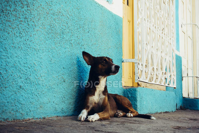 Adorable dog lying near turquoise wall and looking away. — Stock Photo