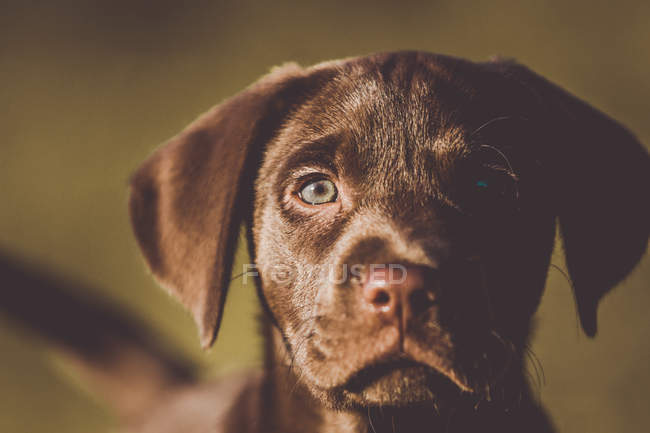Cute brown puppy looking at camera — Stock Photo