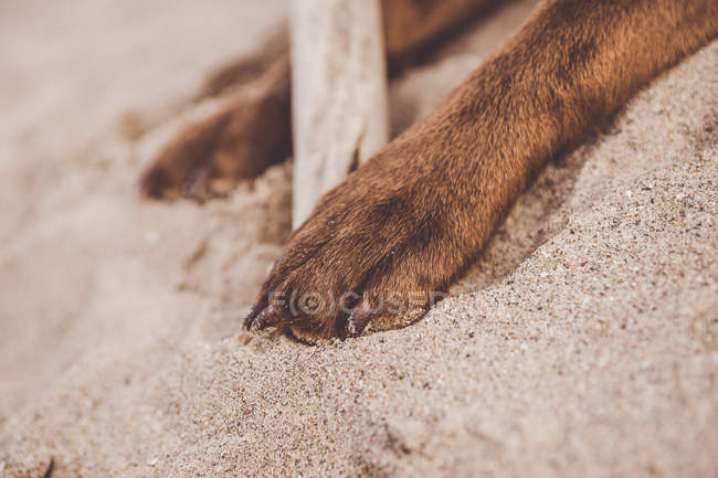 Crop of brown dog paws digging sand around wooden stick. — Stock Photo