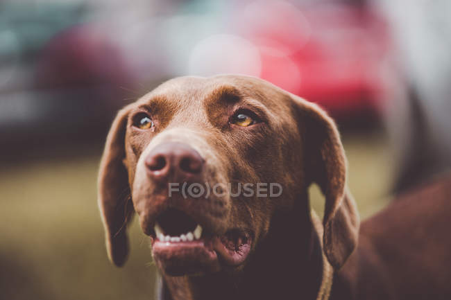 Adorable brown labrador dog looking away — Stock Photo