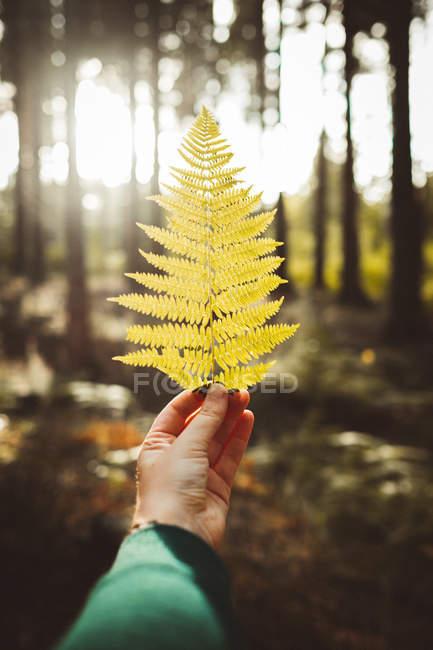 Folha de samambaia de cor amarela da queda na mão da colheita no fundo de madeiras iluminadas pelo sol . — Fotografia de Stock
