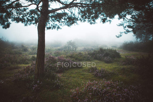 Pine tree in foggy field on morning — Stock Photo