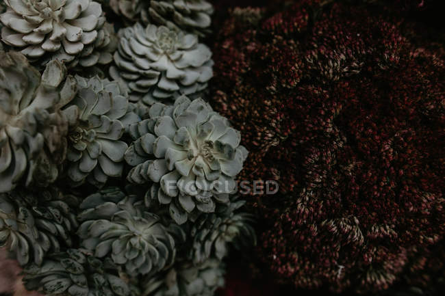 From above view of green and dark red unusual plants. — Stock Photo