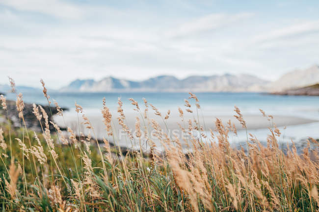Grass spikes swinging in wind on background of lake and mountains. — Stock Photo