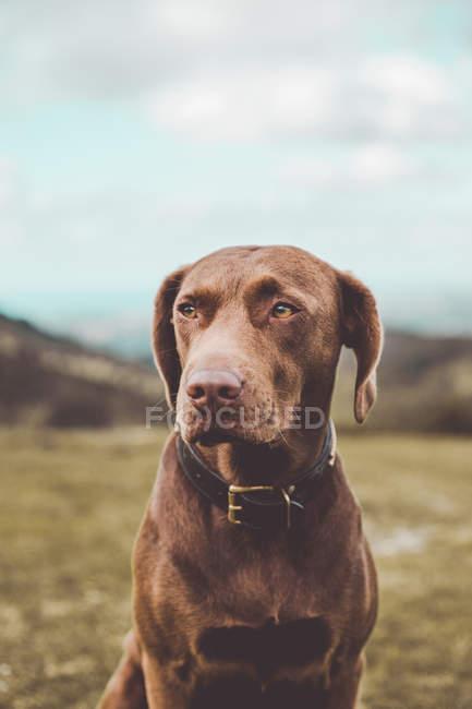 Cachorro de labrador marrom encantador no colarinho preto sentado na grama no campo rural e desviar o olhar — Fotografia de Stock