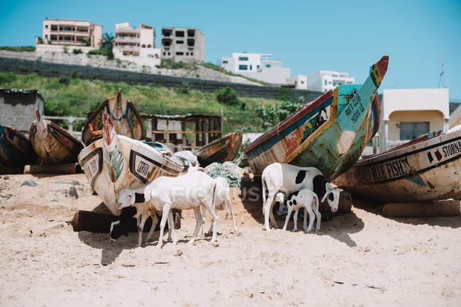 Козы с младенцами ходят и пасутся на лодках на песчаном берегу, Йофф, Сенегал — стоковое фото