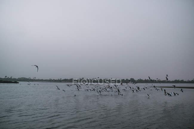 Viele Vögel fliegen über der Oberfläche des Flusses in düsteren Tag. — Stockfoto