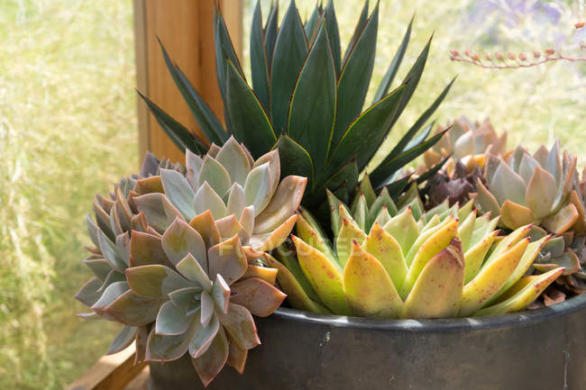 Close up view of potted green succulents growing at window. — Stock Photo