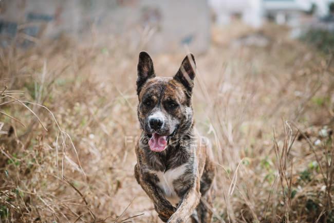 Portrait de chien courant à travers l'herbe sèche dans le champ avec sa langue sortie . — Photo de stock