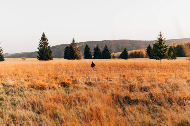 Задний вид человека, идущего по золотой сельской местности с деревьями и горами на заднем плане . — стоковое фото