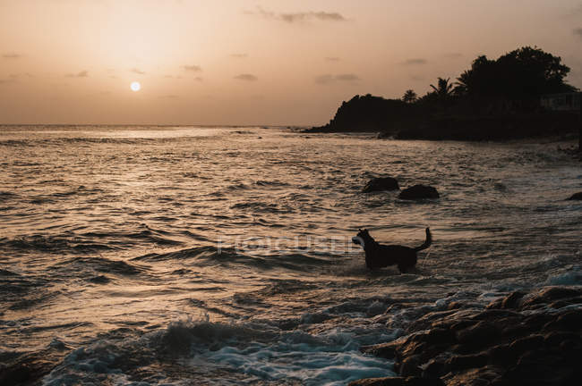 Silhouette of dog running to sea for swimming in sunset lights. — Stock Photo