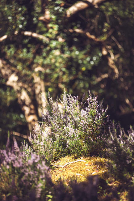 Квітучий рослинництва на моховий грунті у лісі — стокове фото