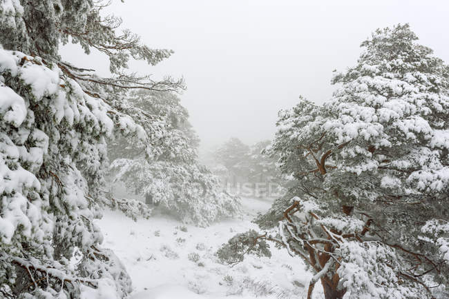 Winter landscape with snow covered pines trees and fog — Stock Photo