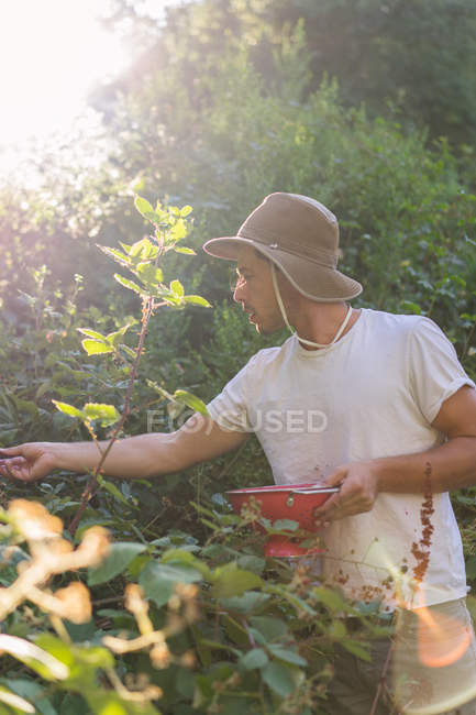 Young man in panama hat collecting berries from bushes  in garden — Stock Photo