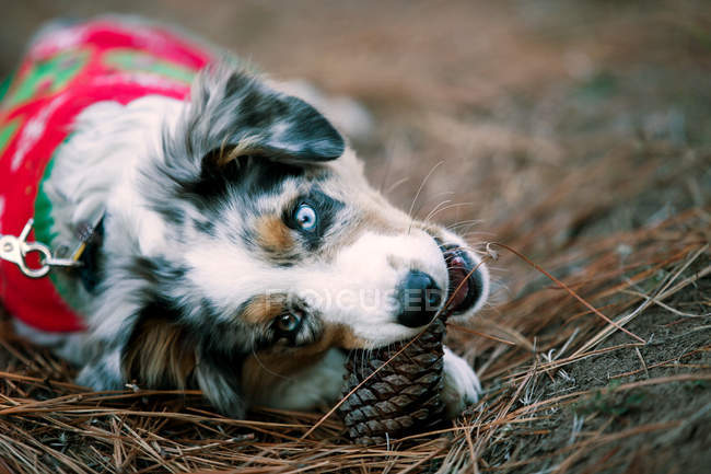 Cute dog in Christmas sweater biting pineapple on ground — Stock Photo