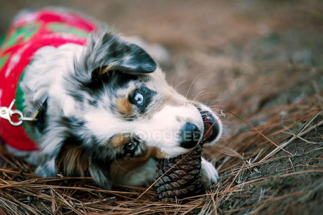 Niedlichen Hund in Christmas Sweater beißen Ananas auf Boden — Stockfoto