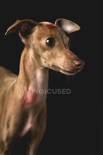 Portrait of dog with red lips kiss marks — Stock Photo