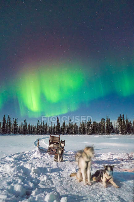 Chiens de traîneau reposant sur la neige sous ciel avec lumière polaire. — Photo de stock