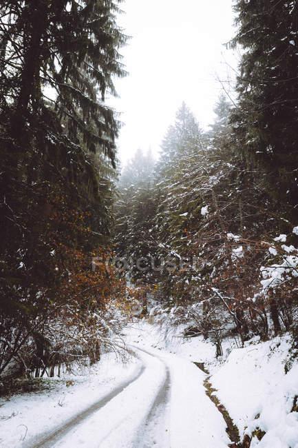 Vista a estrada na floresta de abetos do inverno — Fotografia de Stock