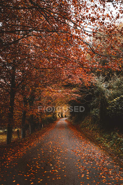 Perspective view to asphalt road in red autumn forest at countryside. — Stock Photo
