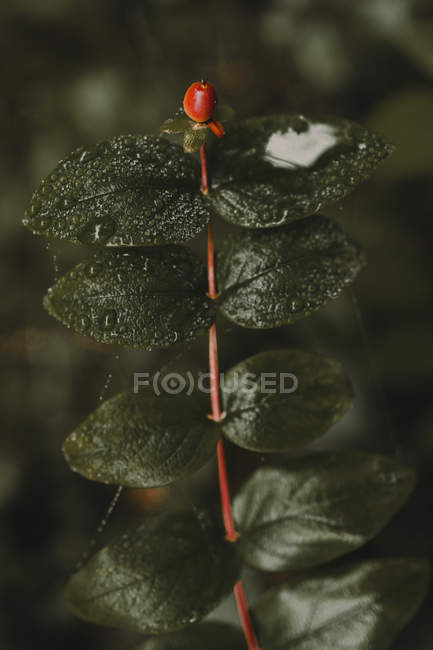 Close-up vista vermelho colorido berry na filial com verde molhado deixa em floresta. — Fotografia de Stock