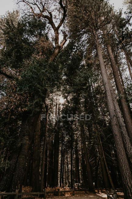 Vue de dessous de grands arbres qui poussent dans la forêt d'automne — Photo de stock