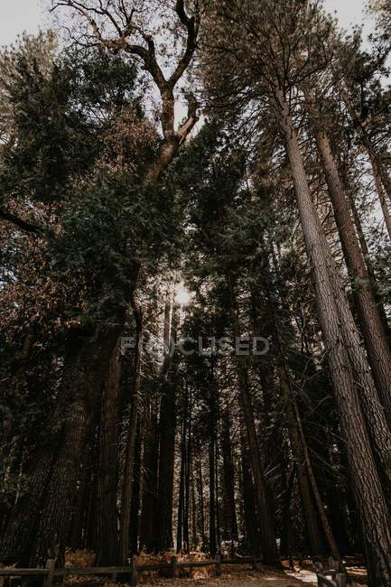Bottom view of tall trees growing in autumn forest. — Stock Photo