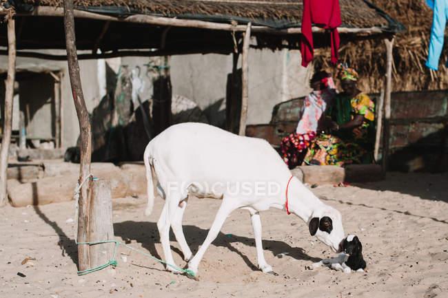 Vista laterale della capra bianca con bambino nel soleggiato villaggio africano . — Foto stock