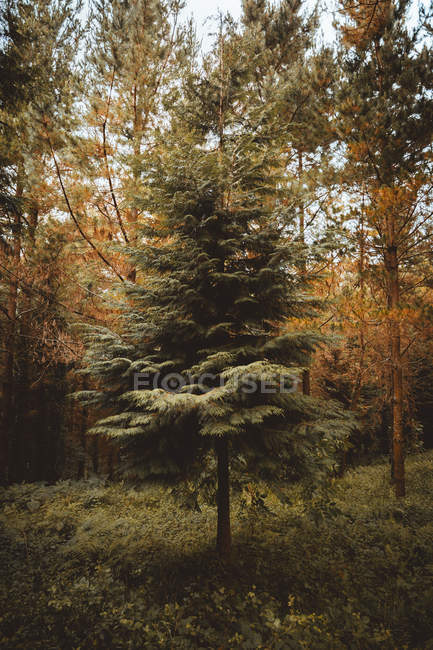 Green tree growing in woodland with colorful fall foliage on background — Stock Photo