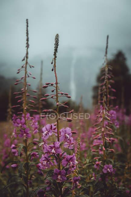 Маленькие лиловые цветки расцветает на осенние поле в природе — стоковое фото