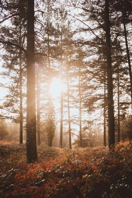 Doux lumière du soleil qui brille entre les arbres dans la forêt paisible — Photo de stock