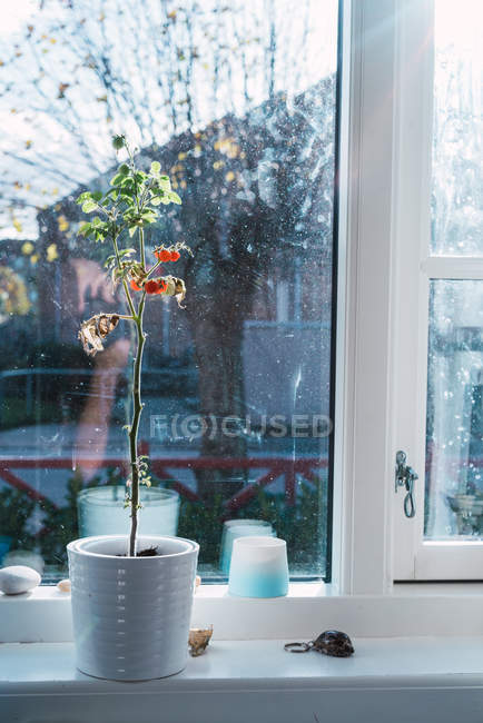 Small potted plant with small berries growing on window sill at home. — Stock Photo