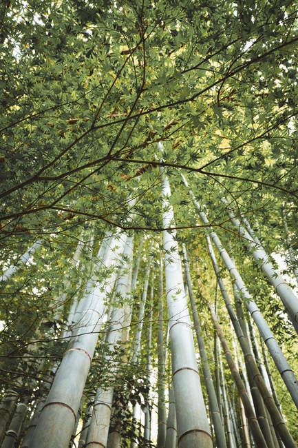 Vista inferior de árvores de bambu em madeiras — Fotografia de Stock