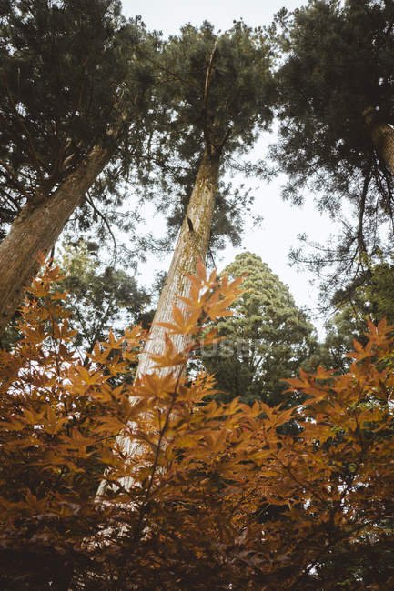 Bottom view to tall trees in autumn forest in nature. — Stock Photo
