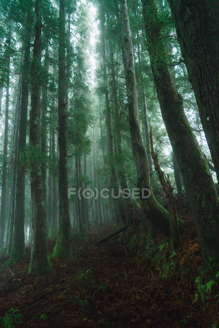 View to green forest with tall trees in foggy day. — Stock Photo