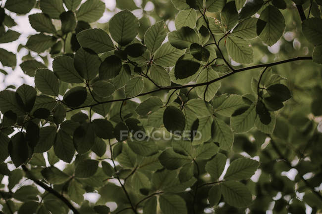 From below branches with green leaves in nature. — Stock Photo