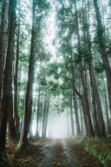 Perspective view to small road in green misty forest. — Stock Photo