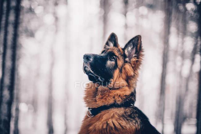 Schäferhund Welpen posiert im Wald — Stockfoto