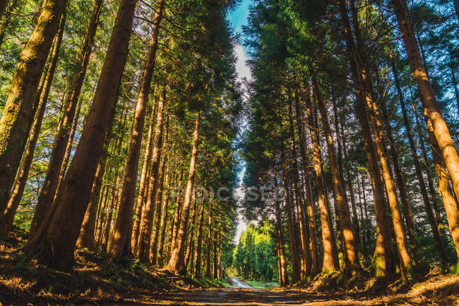 Bottom view to evergreen woods rows and path in sunny day. — Stock Photo