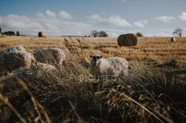 Ovini in piedi e pascolo su secco depositato in terreni agricoli . — Foto stock